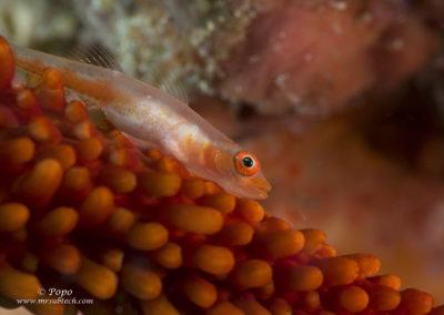 Gobio en coral látigo